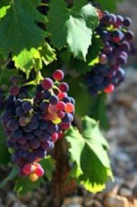raisins illustrant les cépages