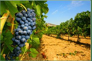 grappe_raisin_vins étrangers